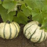 Courge Patidou